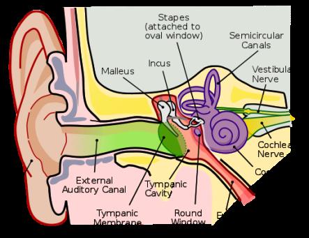 512px-Anatomy_of_the_Human_Ear_en.svg