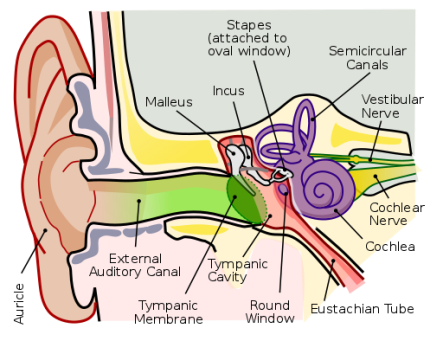 512px-Anatomy_of_the_Human_Ear_en.svg